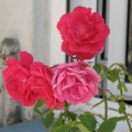 Tres rojas y una rosa